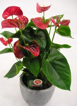 Plant Anthurium