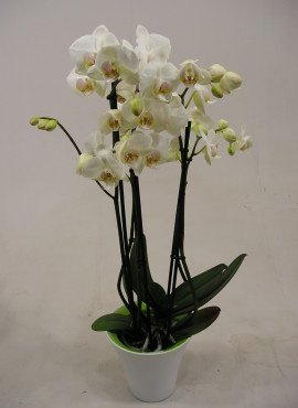 Plant Orchidee